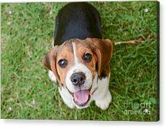 Beagle Puppy Sitting On Green Grass Acrylic Print by Mr.es