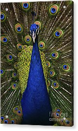 Beautiful Bird, Male Of Indian Peacock Acrylic Print