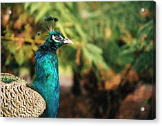Beautiful Colourful Peacock Outdoors In The Daytime. Acrylic Print