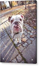 Beautiful Dog Acrylic Print by Freemixer