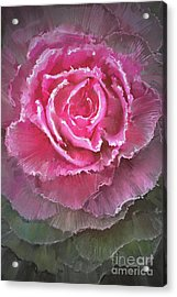 Beautiful Flowering Cabbages,digital Acrylic Print