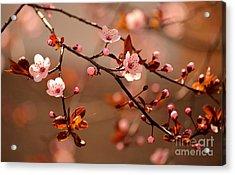 Beautiful Flowering Japanese Cherry - Acrylic Print