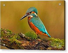Beautiful Kingfisher With Clear Green Acrylic Print