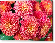 Beautiful Of Red Garden Dahlia Flower Acrylic Print