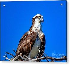 Beautiful Osprey Acrylic Print