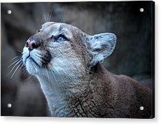 Beautiful Puma Acrylic Print