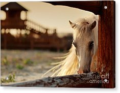 Beautiful, Quiet, White Horse Waits In Acrylic Print