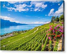 Beautiful Scenery With Rows Of Vineyard Acrylic Print