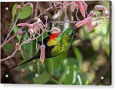 Beautiful Sunbird Acrylic Print