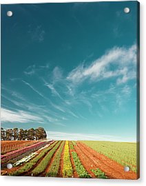 Acrylic Print featuring the photograph Beautiful Tulip Farm At The Table Cape In Tasmania. by Rob D