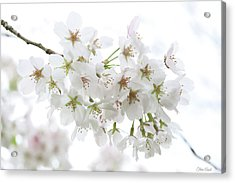 Beautiful White Cherry Blossoms Acrylic Print