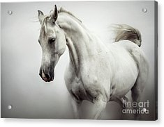 Acrylic Print featuring the photograph Beautiful White Horse On The White Background by Dimitar Hristov