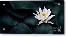 Beautiful White Lotus Flower Closeup. Exotic Water Lily Flower O Acrylic Print