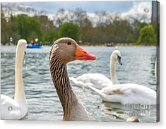 Beautiful Young Swans In Lake Wildlife Acrylic Print