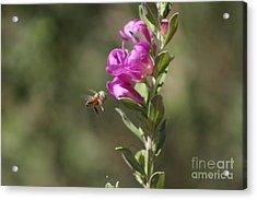 Bee Flying Towards Ultra Violet Texas Ranger Flower Acrylic Print