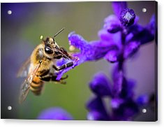 Bee On A Purple Flower Acrylic Print