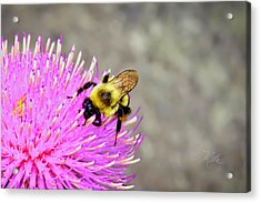 Bee On Pink Bull Thistle Acrylic Print