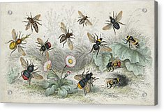 Bees In Colour Acrylic Print by Hulton Archive