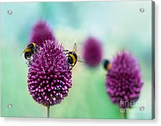 Bees On Allium Sphaerocephalon.  Allium Acrylic Print