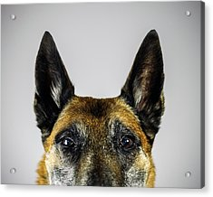 Belgian Sheperd Malinois Dog Looking At Acrylic Print by Joan Vicent Cantó Roig