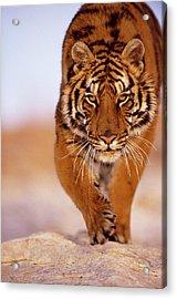 Bengal Tiger Panthera Tigris, Close-up Acrylic Print by John Giustina