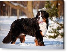 Bernse Mountain Dog Portrait In Winter Acrylic Print