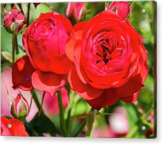 Best Buds In Red Acrylic Print