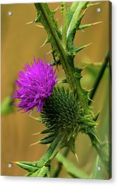 Between The Flower And The Thorn Acrylic Print