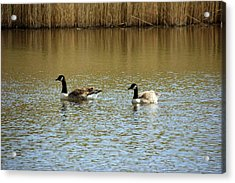 Bidston.  Bidston Moss Wildlife Reserve. Two Geese. Acrylic Print