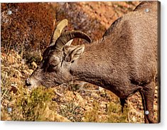 Acrylic Print featuring the photograph Big Horn Sheep 2, Zion by Dawn Richards