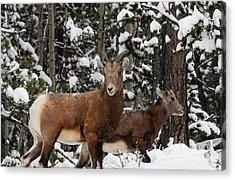 Bighorn Sheep In Deep Snow Acrylic Print