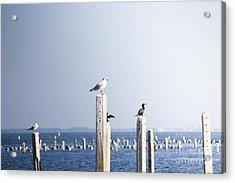 Birds And Wildlife Concept - Seagull On Acrylic Print