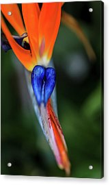 Birds Of Paradise Up Close Acrylic Print