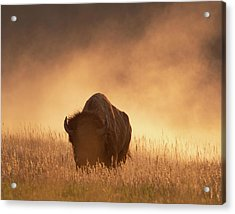 Bison In The Dust 2 Acrylic Print