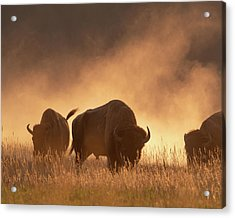 Bison In The Dust Acrylic Print