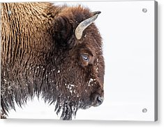 Bison In Winter Acrylic Print by Kencanning