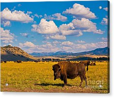Bison Paradise In Yellowstone National Acrylic Print