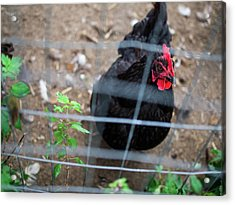 Acrylic Print featuring the photograph Black And Red Chicken by Whitney Leigh Carlson