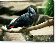 Black And Red Cockatoo. Acrylic Print