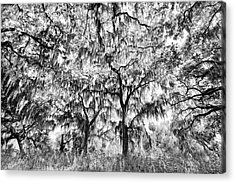 Black And White Of Live Oaks Draped Acrylic Print by Adam Jones