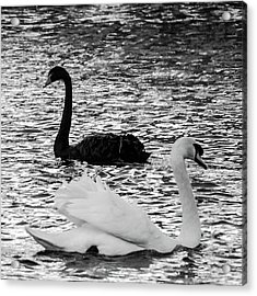 Black And White Swans Acrylic Print