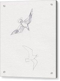 Black-billed Gulls Acrylic Print