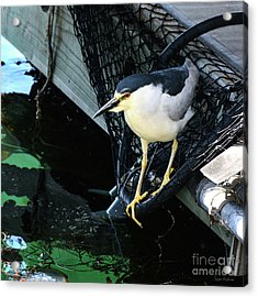 Black-crowned Night Heron Planning Its Dinner Acrylic Print