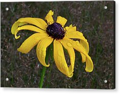 Acrylic Print featuring the photograph Black Eyed Susan by Dale Kincaid