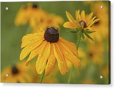 Acrylic Print featuring the photograph Black-eyed Susans by Dale Kincaid