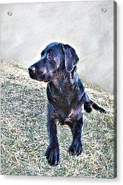 Black Labrador Retriever - Daisy Acrylic Print