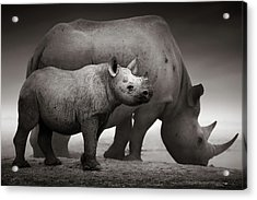 Black Rhinoceros Baby And Cow Acrylic Print