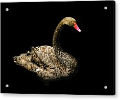 Black Swan On Black  Acrylic Print