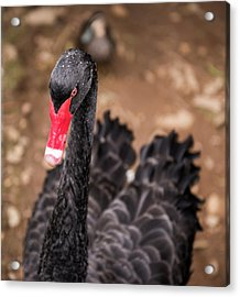 Acrylic Print featuring the photograph Black Swan by Rob D