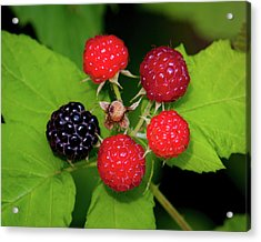 Blackberries Acrylic Print